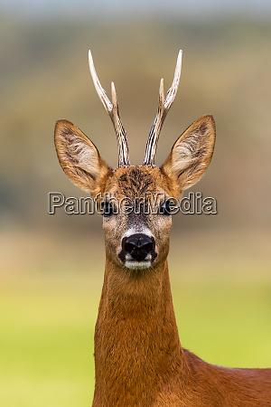 portrait of a roe deer capreolus