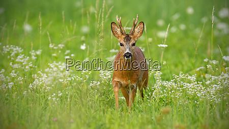 young roe deer walking towards camera