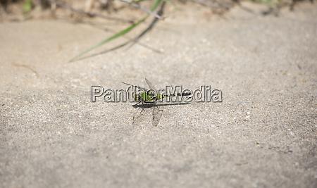 pondhawk dragonfly