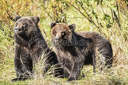 kodiak bear ursus arctos middendorffi cubs
