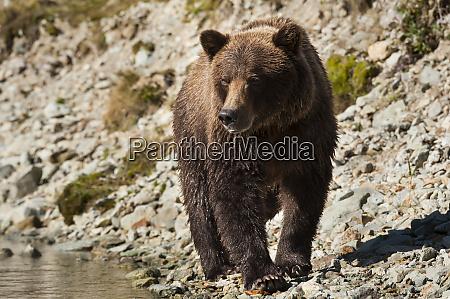 kodiak bear ursus arctos middendorffi walking