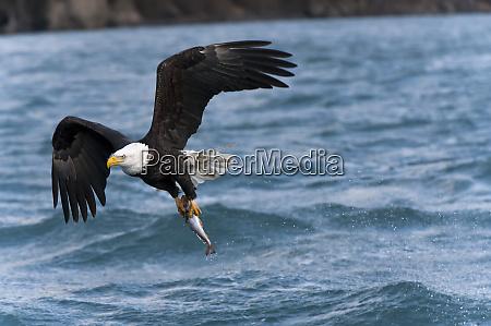 bald, eagle, (haliaeetus, leucocephalus), with, fresh - 26251317