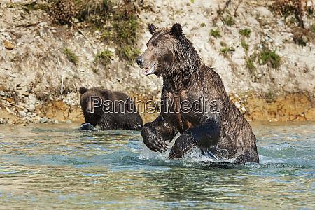 female, kodiak, bear, (ursus, arctos, middendorffi) - 26251313