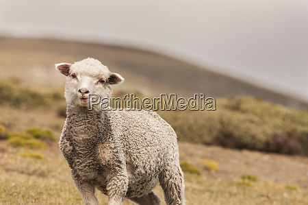 young falkland sheep ovis aries saunders