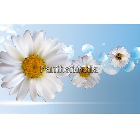 abstract chamomile flowers natural spring and
