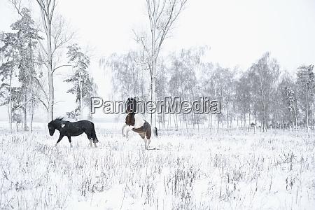 playful horses in snowy field