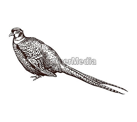 antique engraving pheasant illustration abstract hand