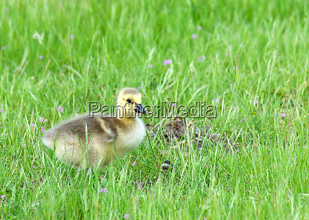 canada goose goslings eating in green