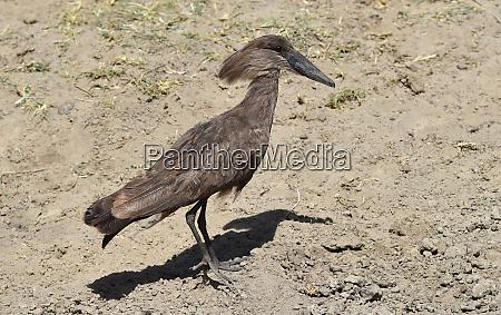 hammerhead bird in kenya