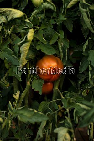 ripe tomato tomato plant