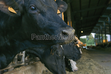 cows in stable on a farm