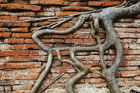 thailand ayutthaya roots climbing through a