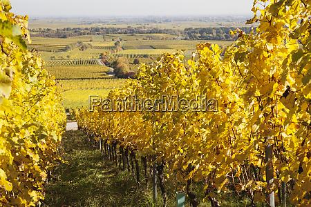 germany rhineland palatinate pfalz vineyards in