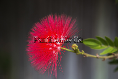 close up vibrant spiny red flower
