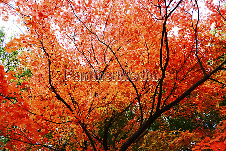 germany maple tree in autumn