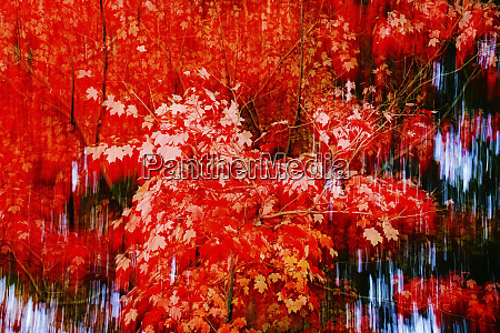 germany maple tree in autumn abstract