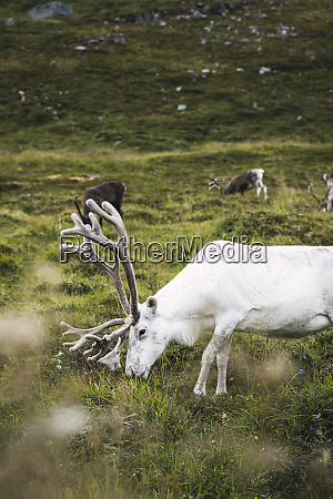 norway lapland male reindeer grazing