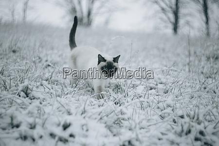 siamese cat walking on snowy meadow