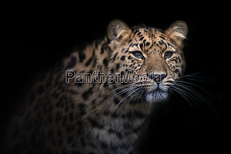 portrait of amur leopard in front