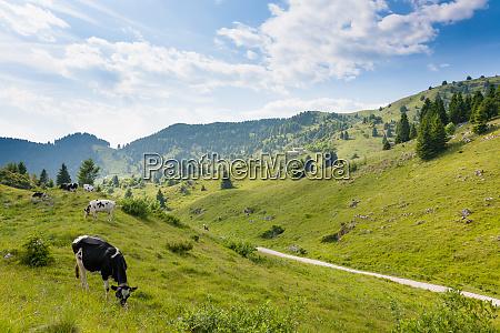 herd of cows from italian alps