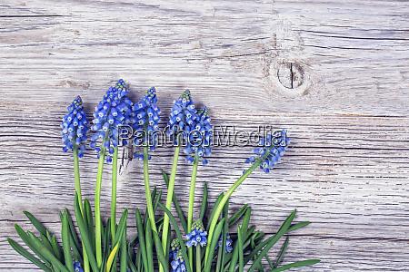 blue muscari flowers