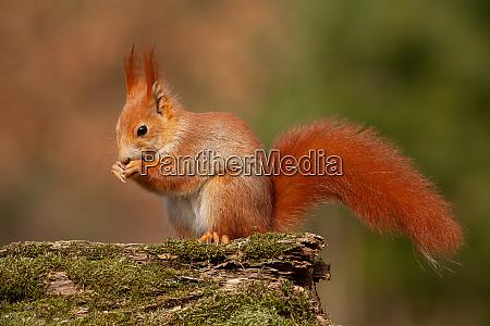 eurasian red squirrel sciurus vulgaris in