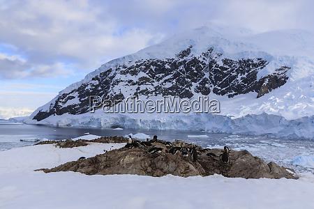 gentoo penguins pygoscelis papua early morning