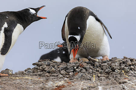 gentoo penguin pygoscelis papua pair changing