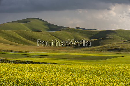 fields of flowering lentils on the