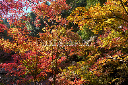 japanese maple trees in autumn in