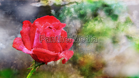 abstract red rose blooming on the