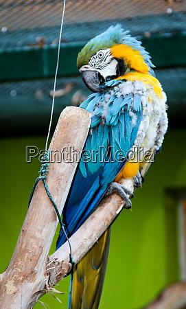 portrait of a yellowstar ararauna papagai