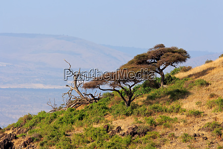 landscape with african thorn trees