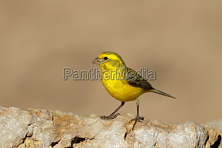 yellow canary south africa