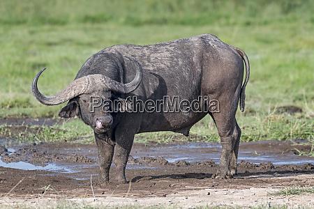 kenya amboseli buffalo 4762