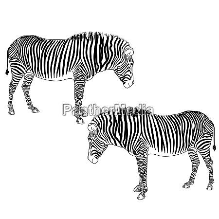two zebras vector illustration