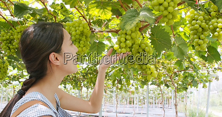 woman picking green grape in the