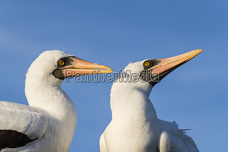 nazca booby sula granti pair at