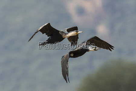 two great cormorants phalacrocorax carbo in