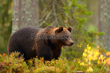 side view of a brown bear