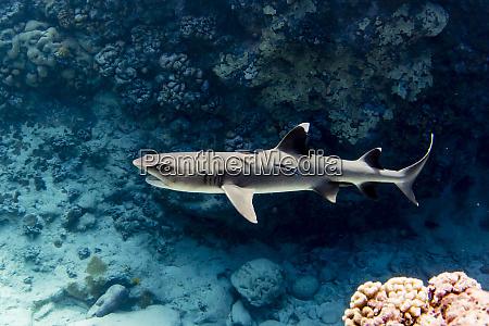 adult whitetip reef shark triaenodon obesus