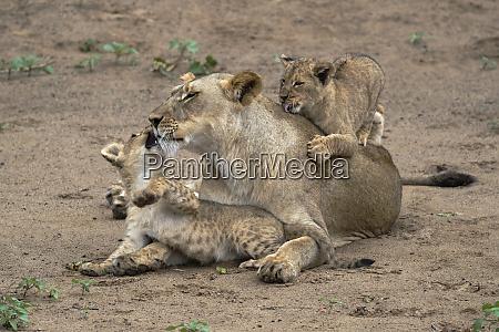 lioness panthera leo playing and bonding