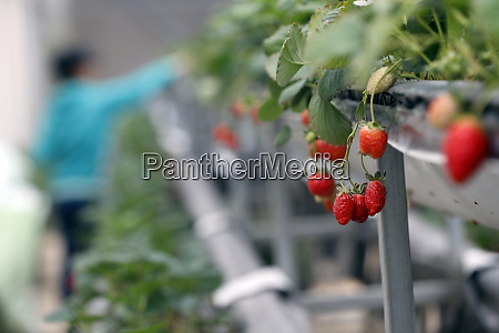 strawberry rows in greenhouse on organic