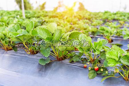 strawberry garden under the evening sunlight