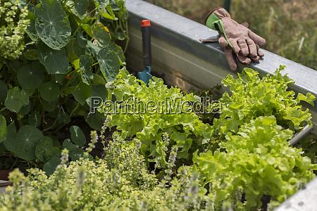 vegetable growing in raised bed