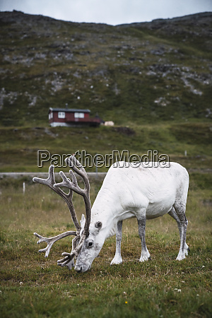 norway lapland male reindeer grazing