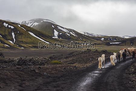 iceland highlands of iceland landmannalaugar horseback