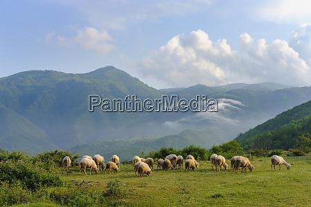 albania shkoder flock of sheep