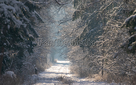 peaceful wintertime road crosing primeval bialowieza