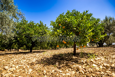 spain mondron orange tree in orchard